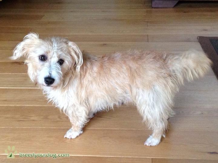 Sporting Lucas Terrier Dog: Sporting Sporting Lucas Terrier Stud Breed