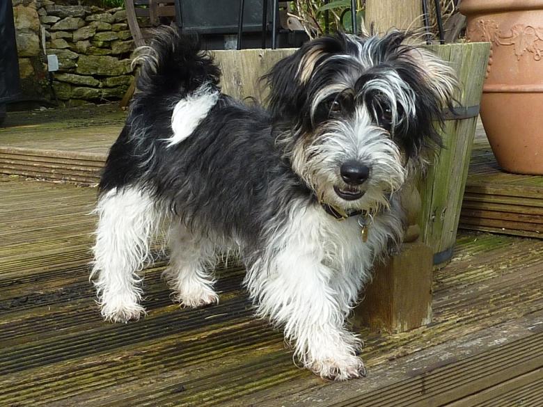 Sporting Lucas Terrier Dog: Sporting Walking Sporting Lucas Terrier Breed