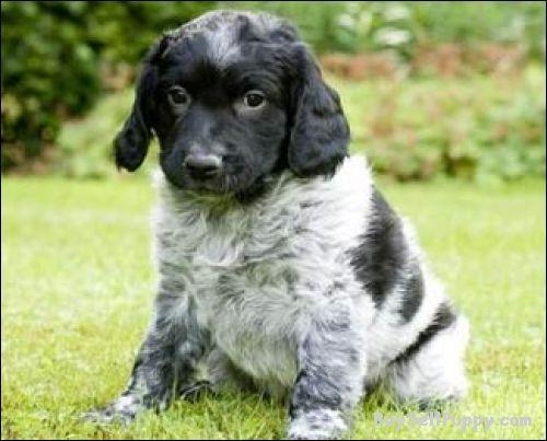 Stabyhoun Puppies: Stabyhoun Admirable Fit Stabyhoun Puppies For Salepd Breed