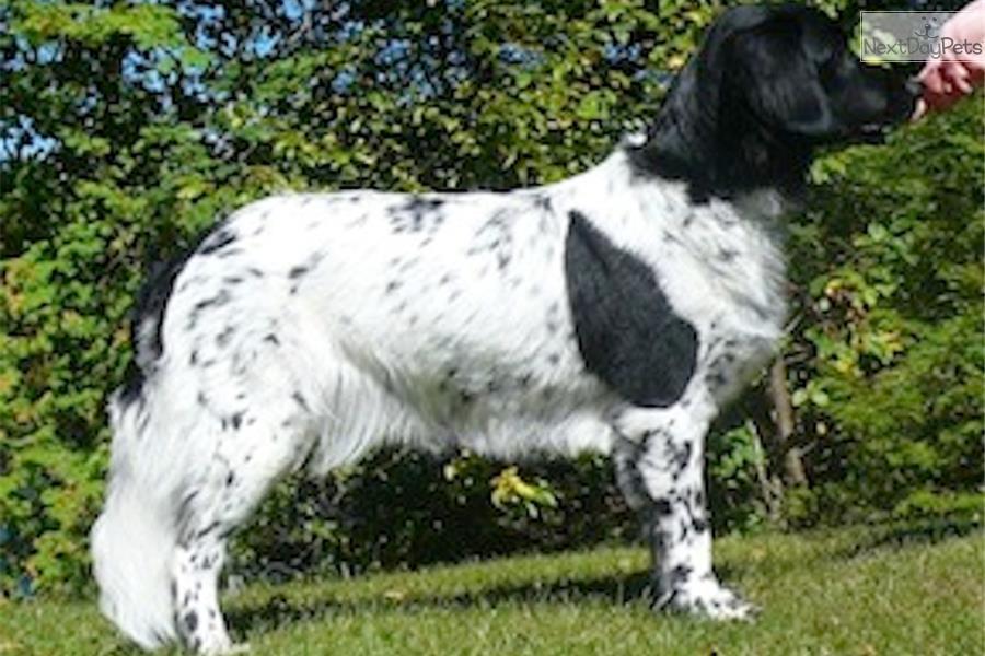 Stabyhoun Dog: Stabyhoun Af Breed