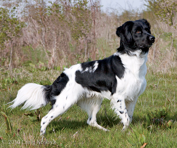 Stabyhoun Dog: Stabyhoun Breed Of Week Stabyhoun