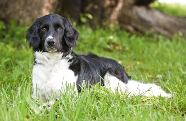 Stabyhoun Dog: Stabyhoun Breed