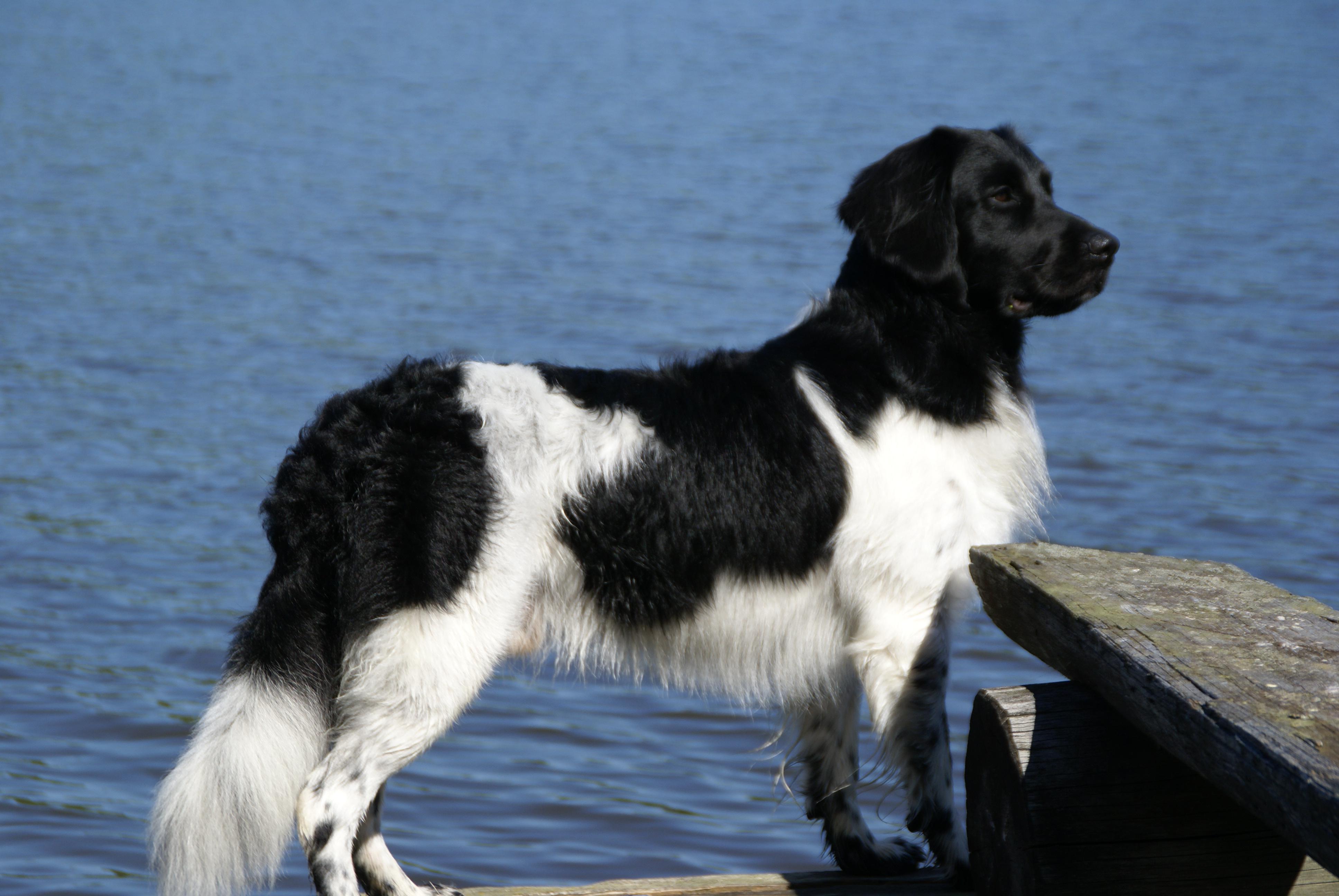 Stabyhoun Dog: Stabyhoun Gallery Breed