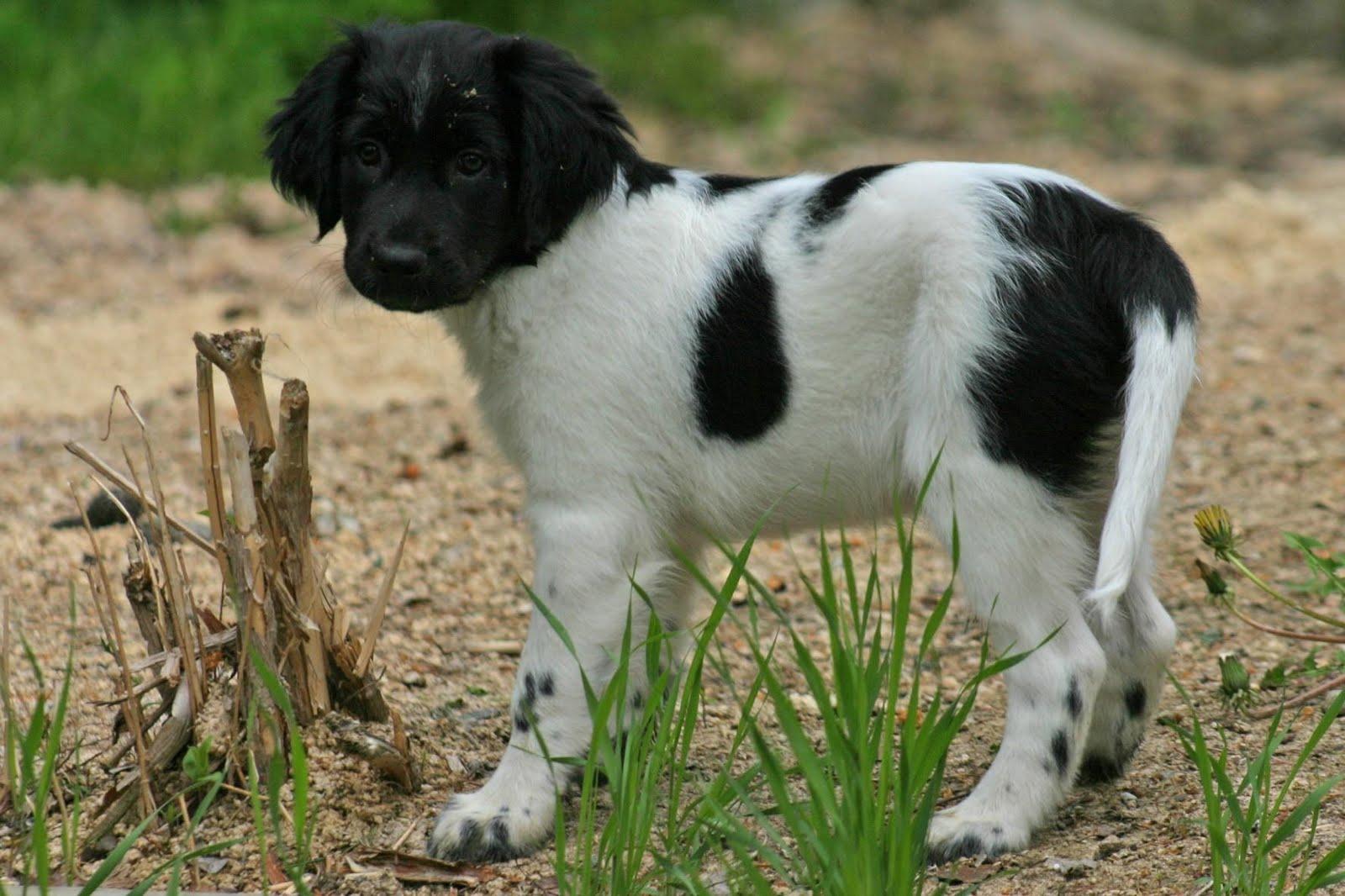 Stabyhoun Puppies: Stabyhoun Nice Stabyhoun Puppy Breed