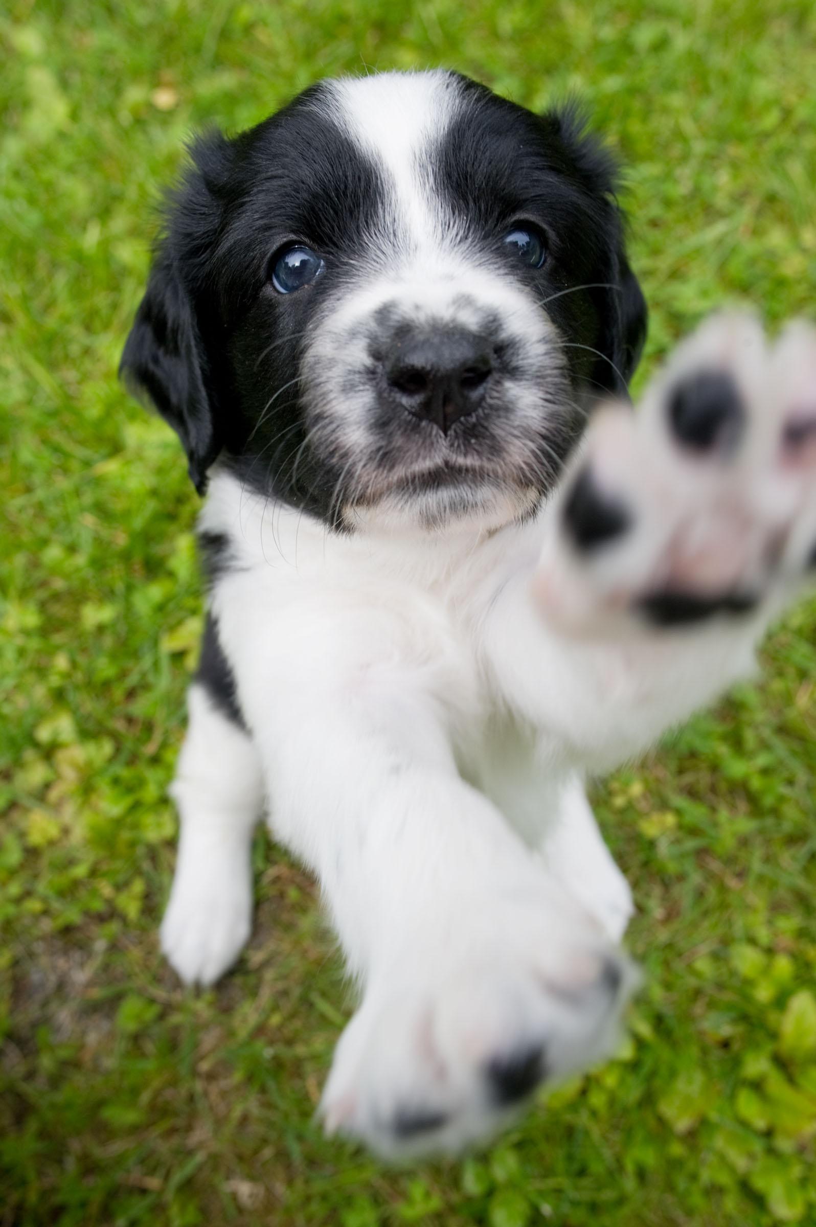 Stabyhoun Puppies: Stabyhoun Pimastabyhounpuppy Breed