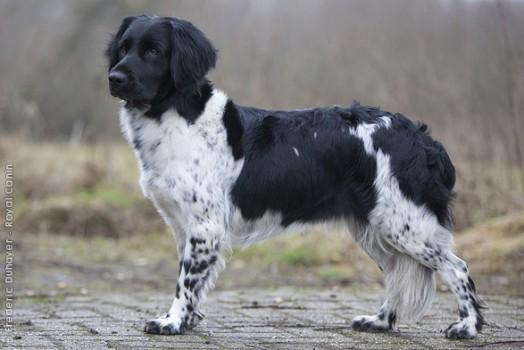 Stabyhoun Dog: Stabyhoun Rare European Dog Breeds