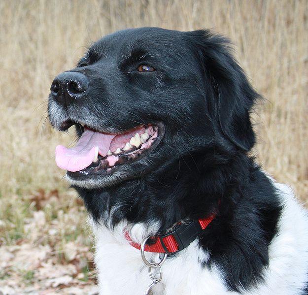 Stabyhoun Dog: Stabyhoun Stabyhoun Dog Breed