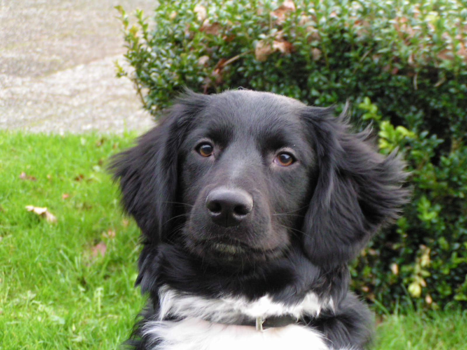 Stabyhoun Dog: Stabyhoun Stabyhoun Dog Face Breed