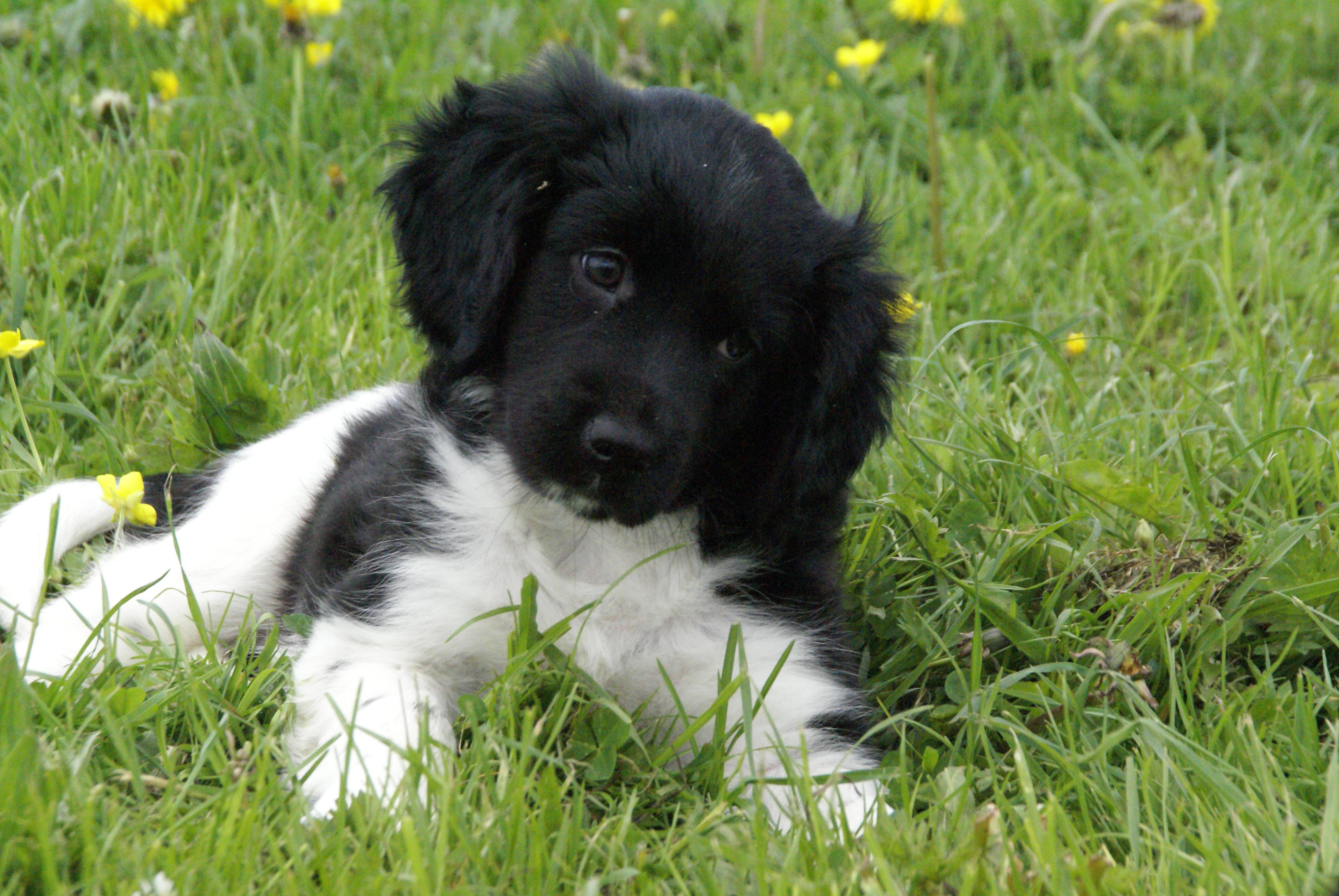 Stabyhoun Puppies: Stabyhoun Stabyhoun Puppy In The Grass Breed