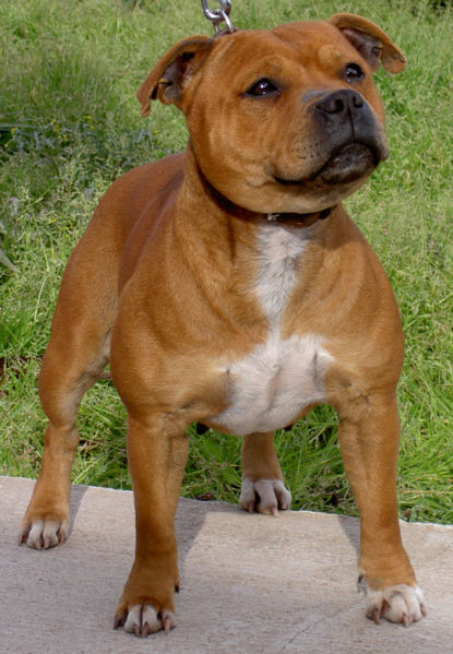 Staffordshire Bull Terrier Dog: Staffordshire Dogs Most Popular Breeds Us