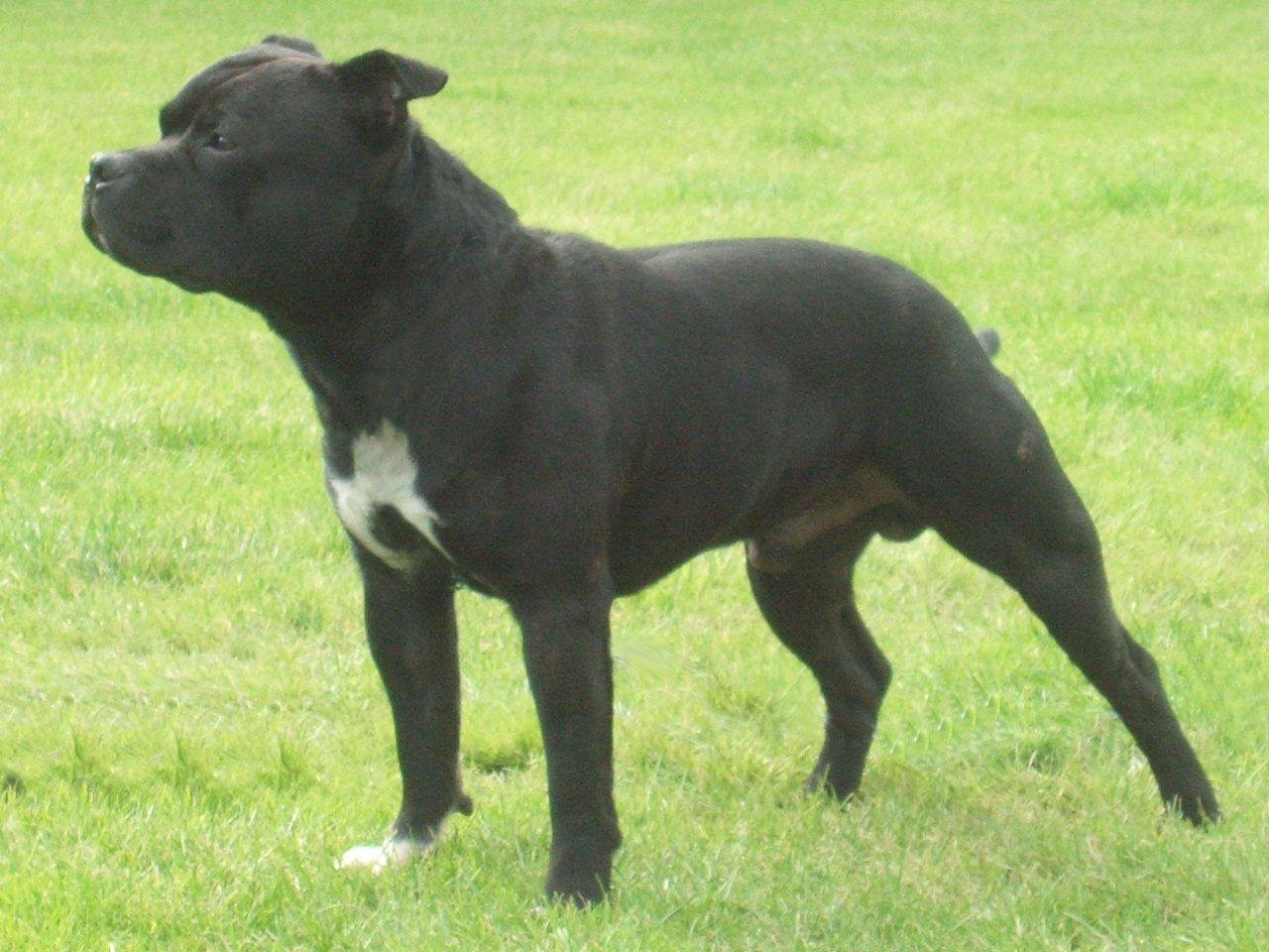 Staffordshire Bull Terrier Dog: Staffordshire Staffordshire Bull Terrier Breed