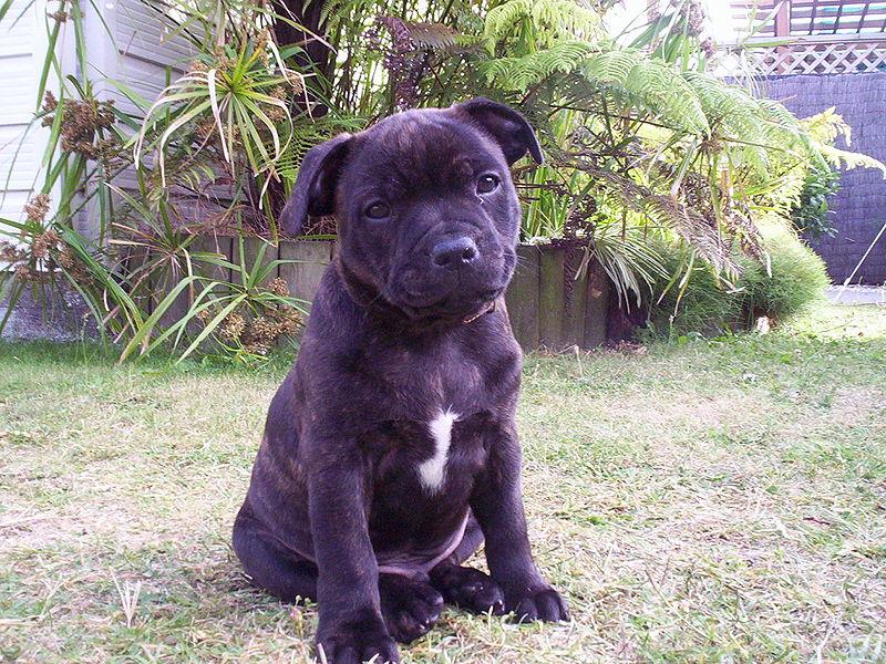 Staffordshire Bull Terrier Dog: Staffordshire Staffordshire Bull Terrier Dog Breed