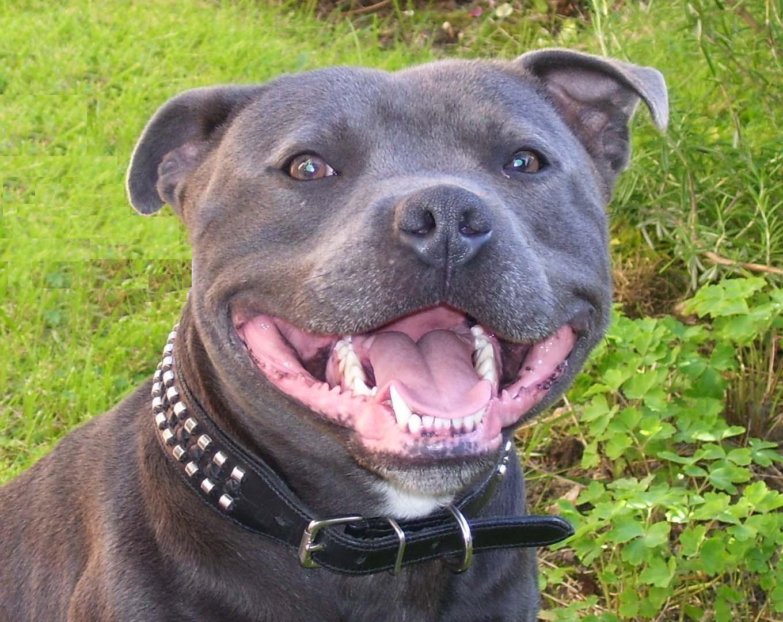Staffordshire Bull Terrier Dog: Staffordshire Staffordshire Bull Terrier Dog Face Breed