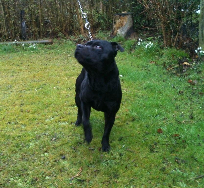 Staffordshire Bull Terrier Dog: Staffordshire Staffordshire Bull Terrier Dog Redcar Breed