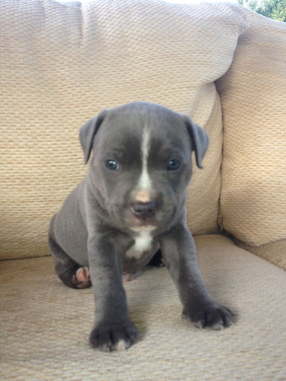 Staffordshire Bull Terrier Puppies: Staffordshire Staffordshire Bull Terrier Puppies Breed