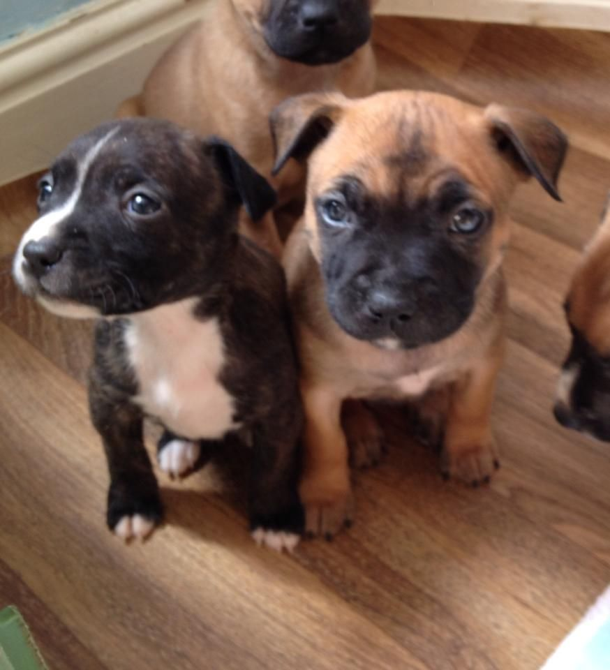 Staffordshire Bull Terrier Puppies: Staffordshire Staffordshire Bull Terrier Puppies For Sale Birmingham Breed
