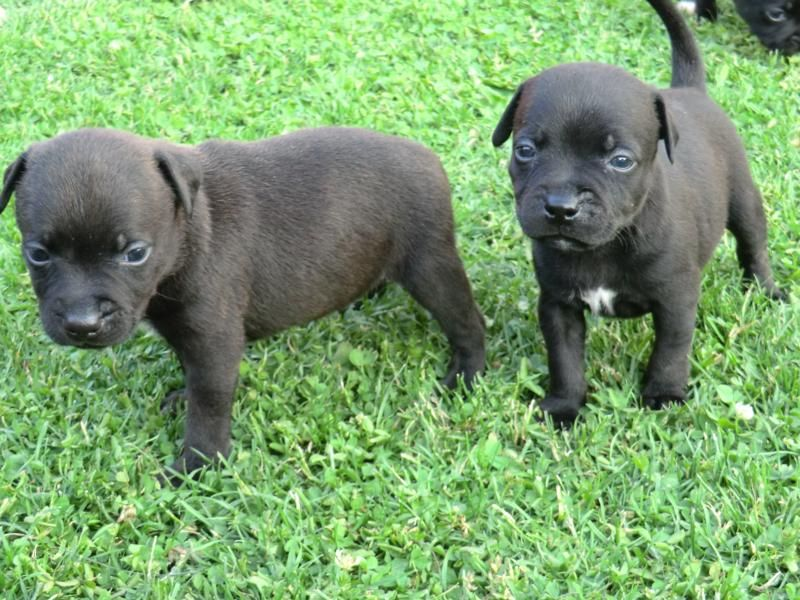Staffordshire Bull Terrier Puppies: Staffordshire Staffordshire Bull Terrier Puppies For Sale Breed