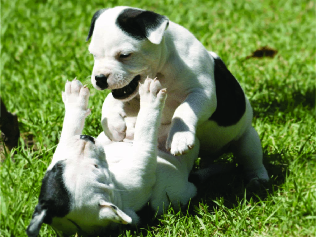 Staffordshire Bull Terrier Puppies: Staffordshire Staffordshire Bull Terrier Puppies Playing Breed