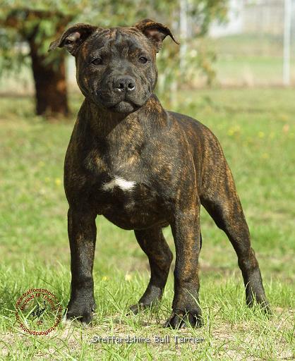 Staffordshire Bull Terrier Dog: Staffordshire Staffordshirebullterrierfd Breed