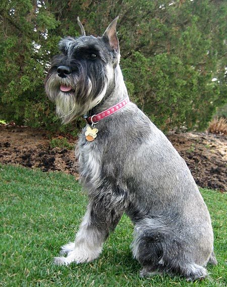 Standard Schnauzer Dog: Standard Abby The Standard Schnauzer Breed