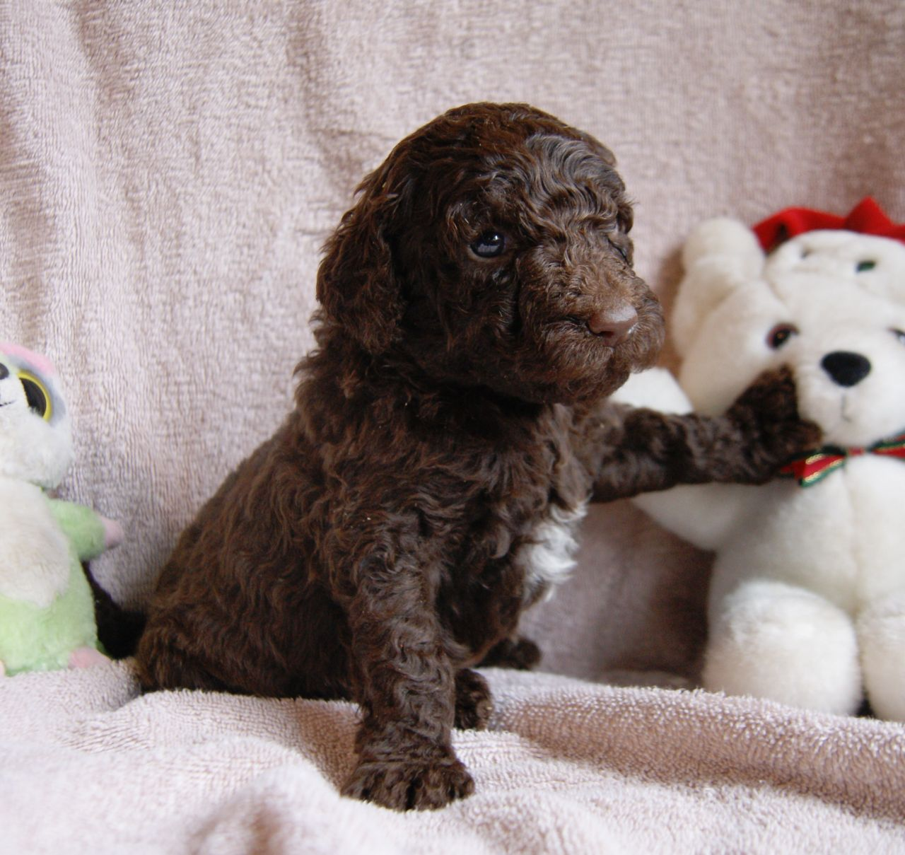 Talbot Puppies: Standard Poodle Puppies Brown Black Neath Breed