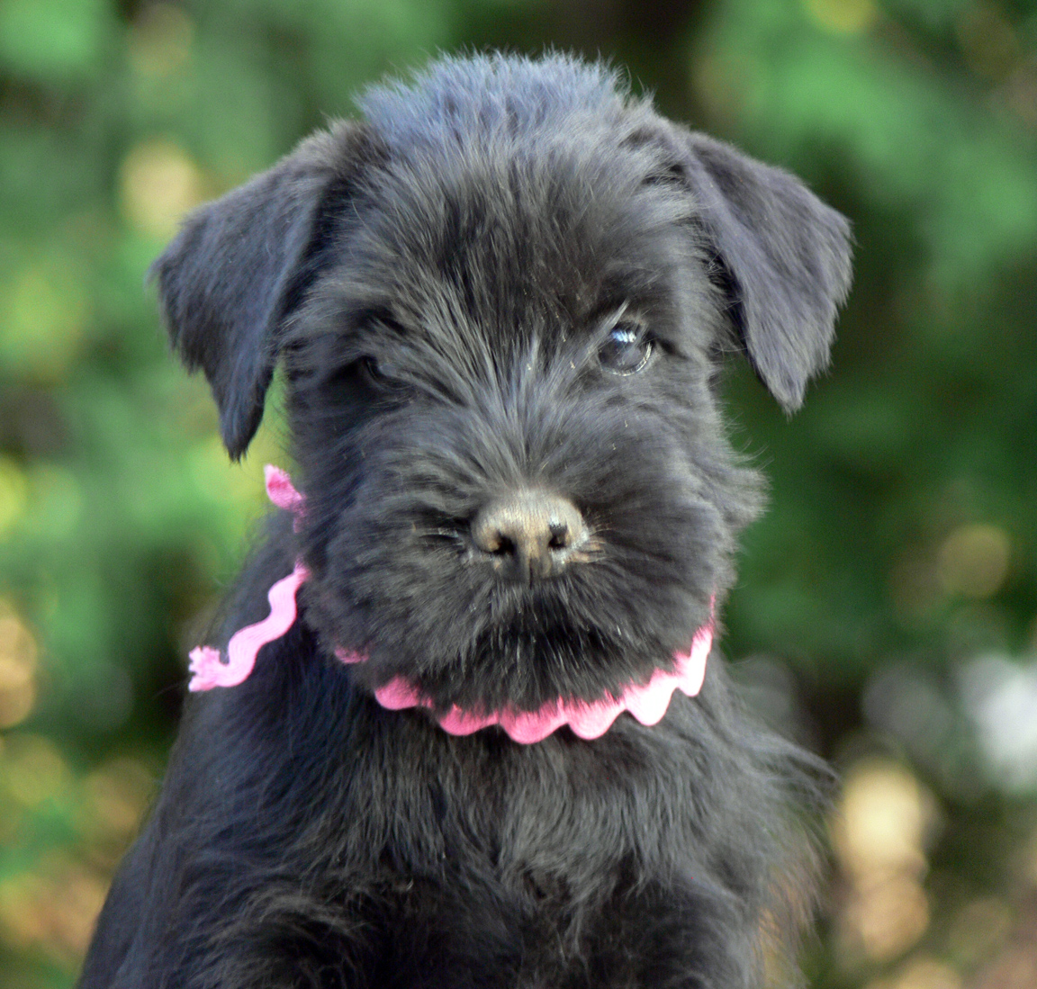 Standard Schnauzer Dog: Standard Schnauzer Standard Dog Girl Breed