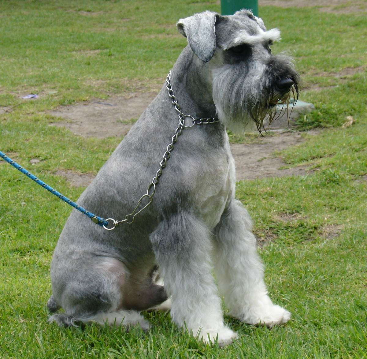 Standard Schnauzer Dog: Standard Sitting Schnauzer Standard Dog Breed