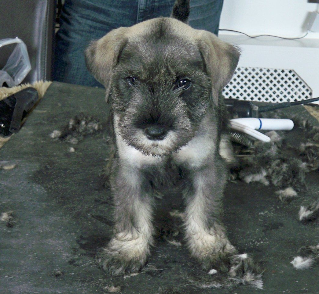 Standard Schnauzer Puppies: Standard Superb Litter Of Standard Schnauzer Puppies Bridgwater Breed