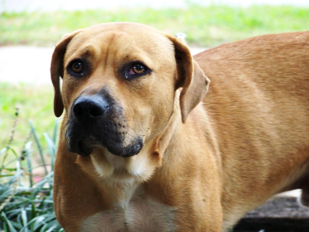 Stephens Cur Puppies: Stephens Cur Dogs Breed
