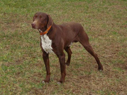Stephens Cur Dog: Stephens Index Breed