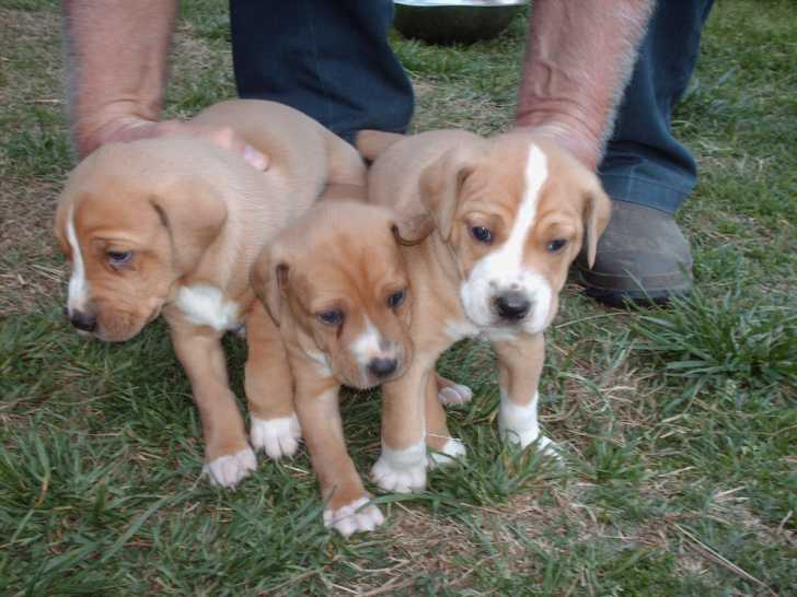Stephens Cur Puppies: Stephens Mountain Cur Puppies Breed