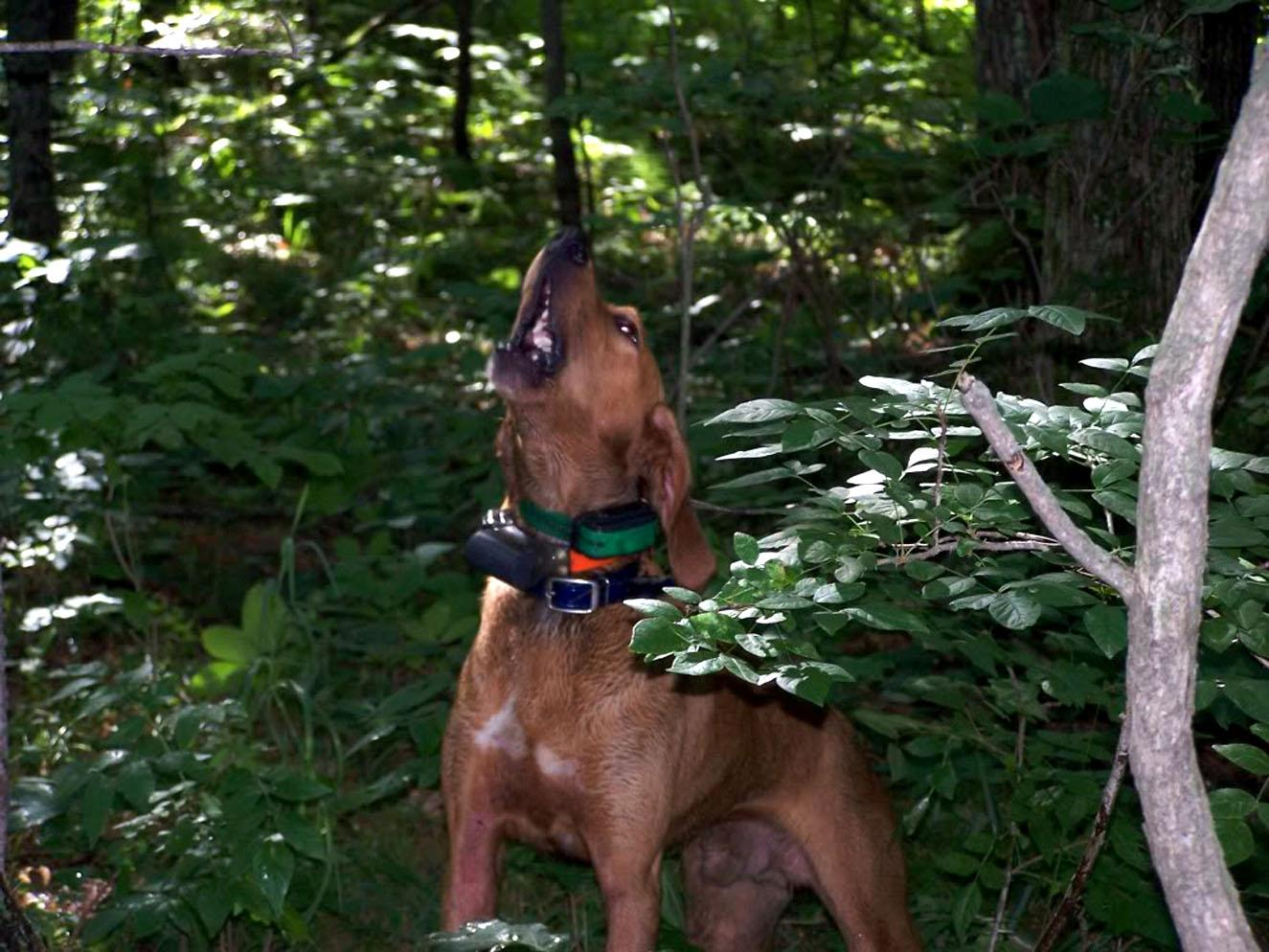 Stephens Cur Dog: Stephens Stephens Cur In The Forest Breed