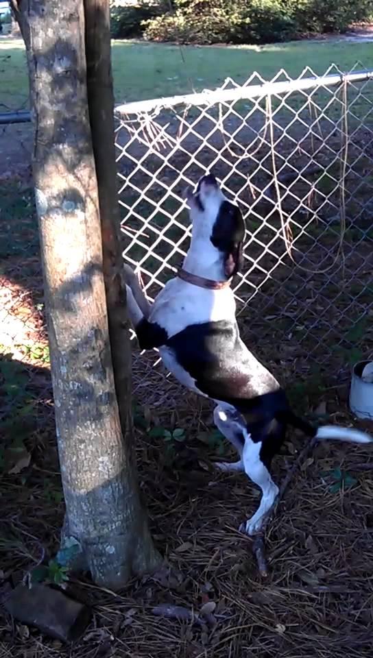Stephens Cur Dog: Stephens Watch Breed