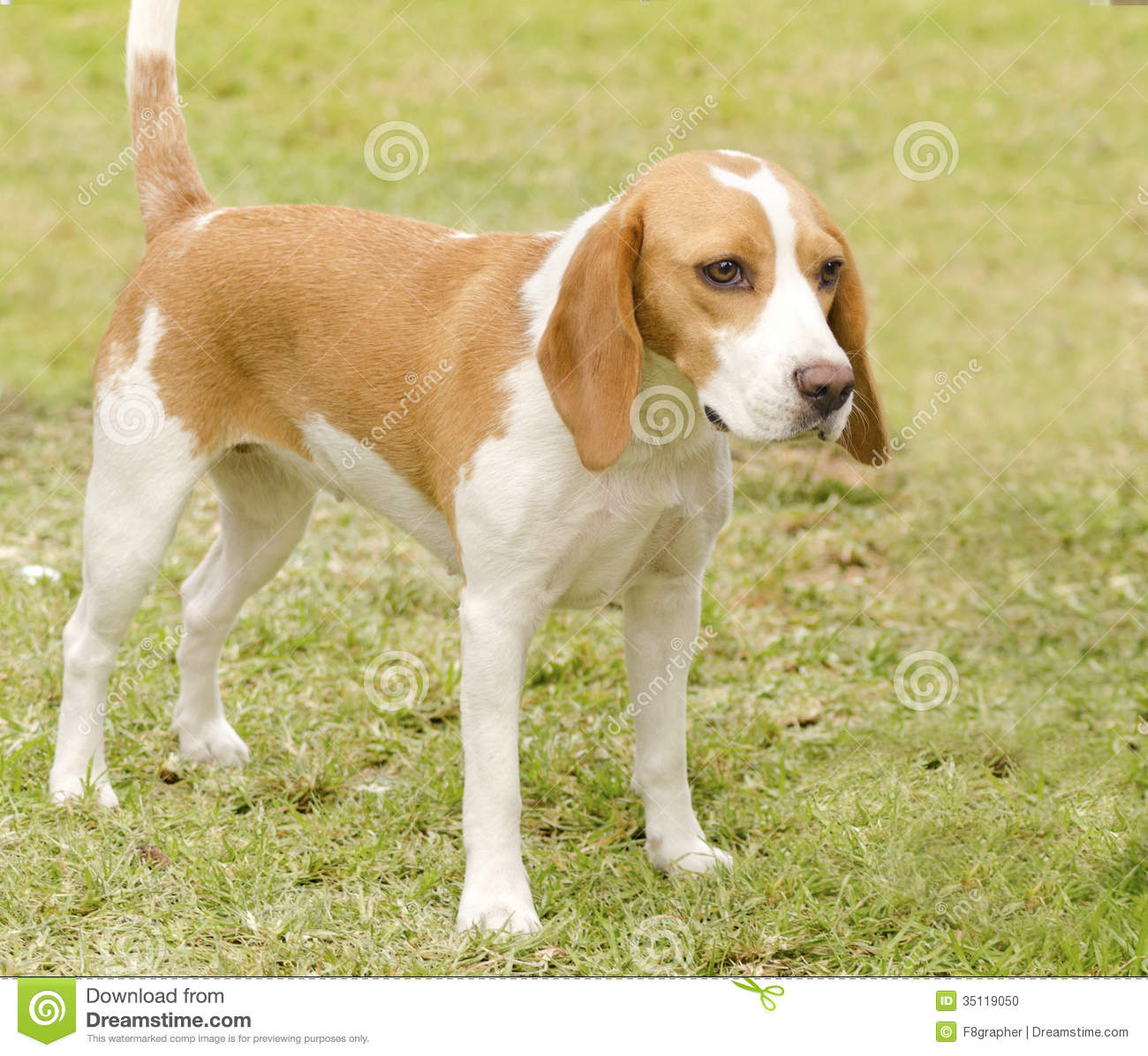 Istrian Shorthaired Hound Dog: Stock Istrian Shorthaired Hound Young Beautiful White Orange Puppy Dog Standing Lawn Short Haired Breed