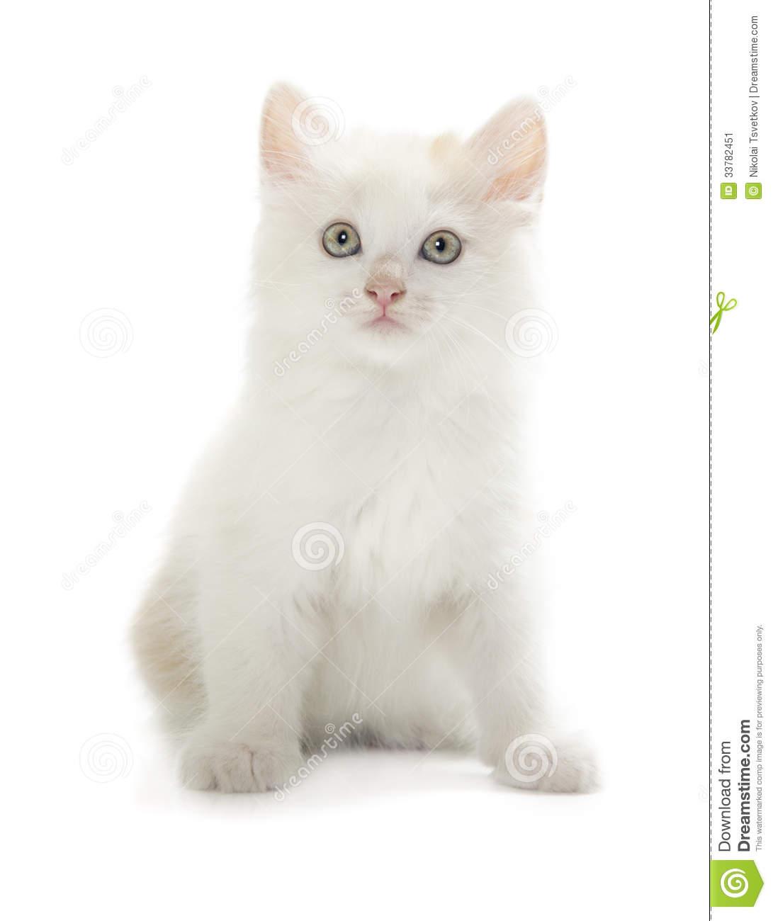 Kurilian Bobtail Kitten: Stock Kurilian Bobtail Kitten Isolated Over White Background Breed