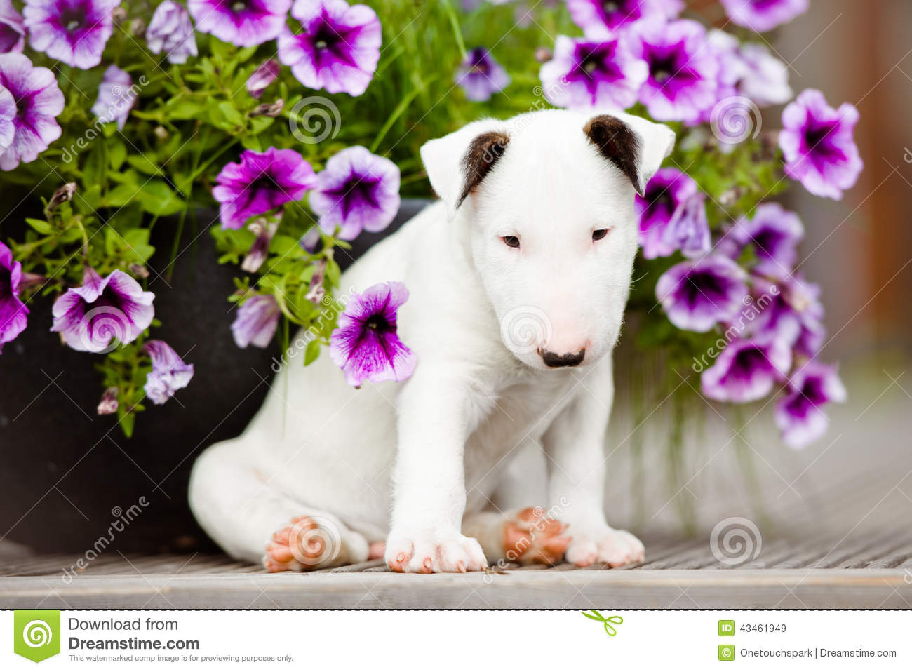 Old English Terrier Puppies: Stock White Bull Terrier Puppy Flowers English Puppies One Month Old Breed