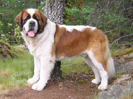 St. Bernard Dog: St. An Dog St Bernard Breed