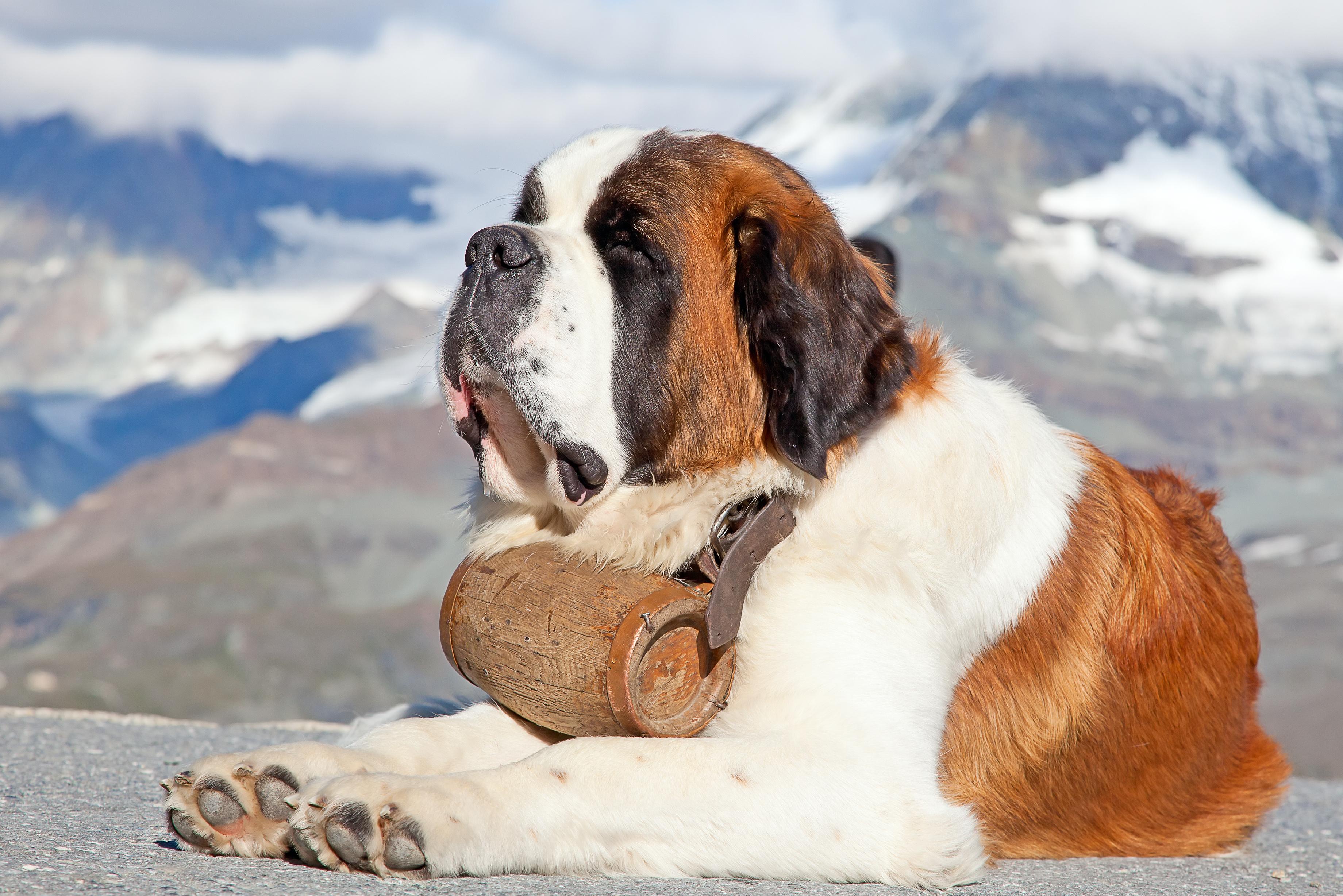 St. Bernard Dog: St. Breed