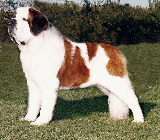 St. Bernard Dog: St. Saint Bernard Dog Breed Pictures