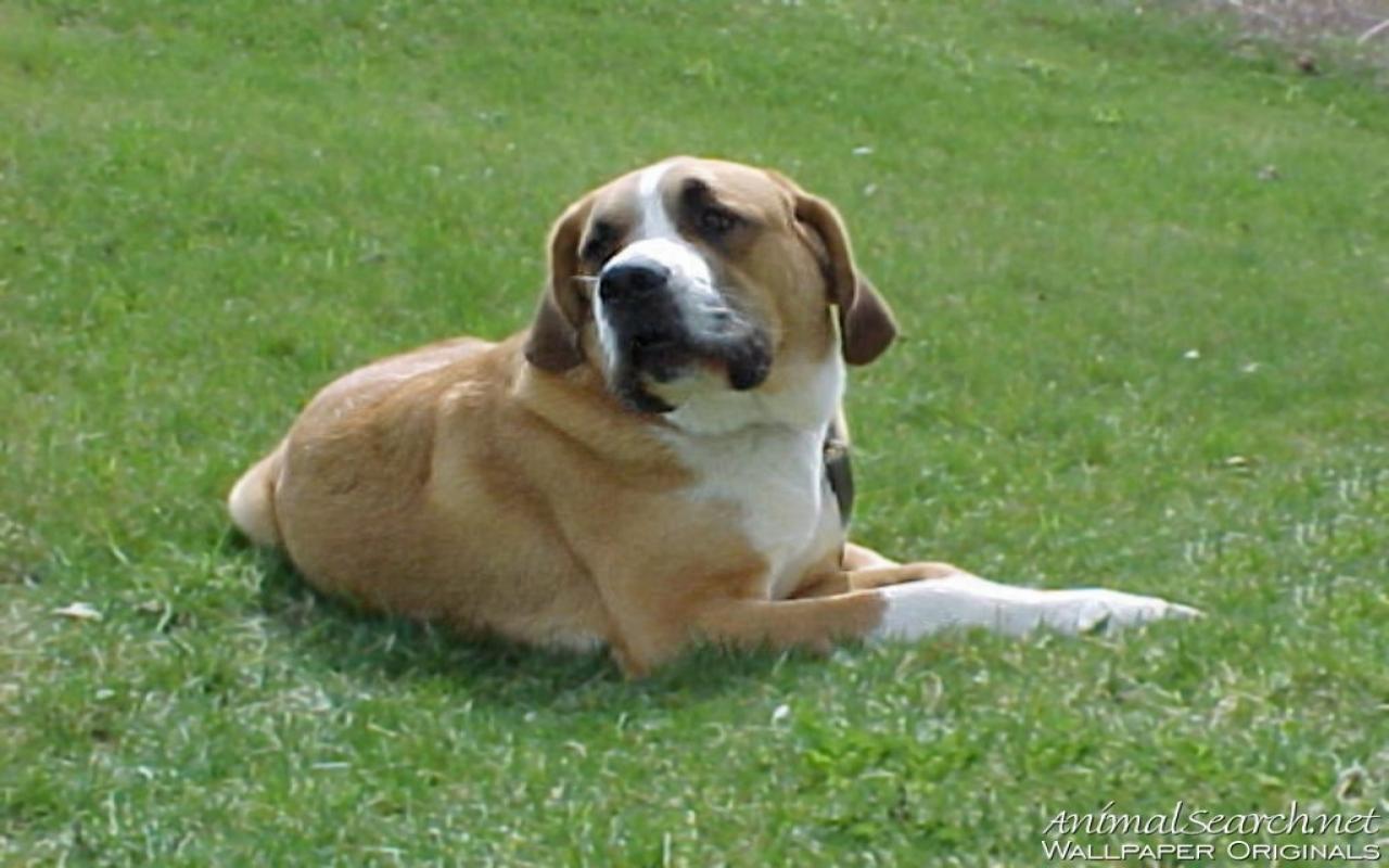 St. Bernard Dog: St. St Bernard Puppy Breed