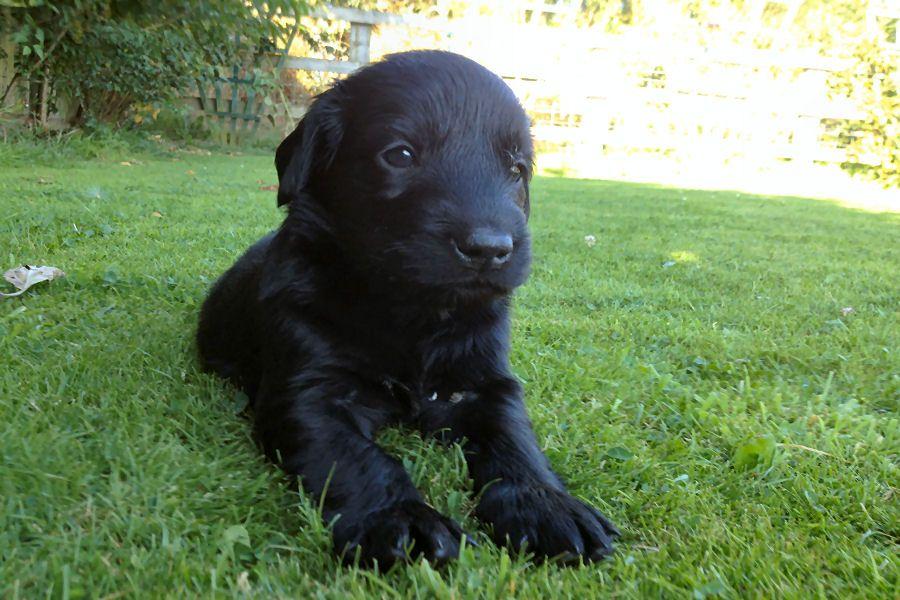 Flat-Coated Retriever Puppies: Stunning Black Flat Coated Retriever Puppies Thirsk Breed