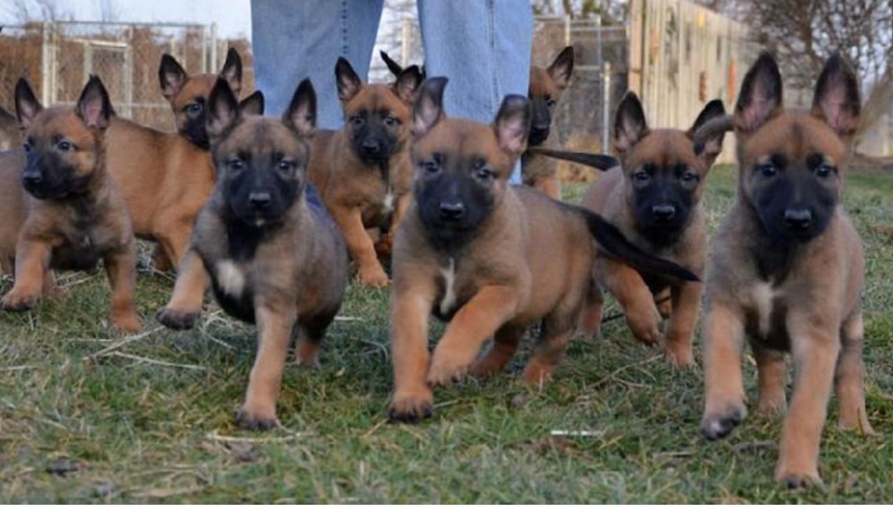 Styrian Coarse-haired Hound Puppies: Styrian Belgian Shepherd Dog Malinois Breed