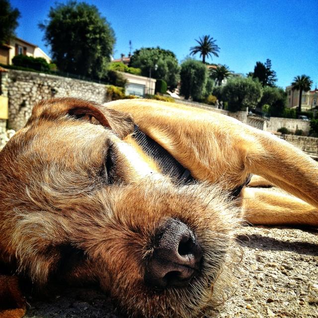 Styrian Coarse-haired Hound Dog: Styrian Breed