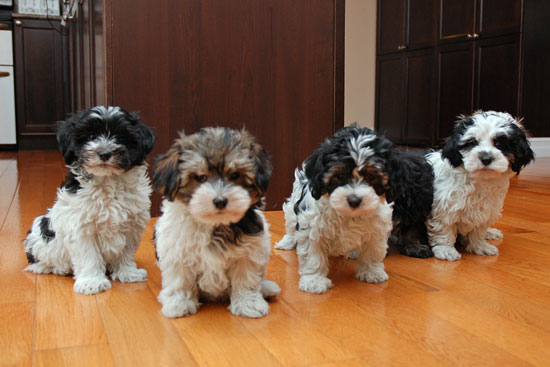 Styrian Coarse-haired Hound Puppies: Styrian Havanese Breed