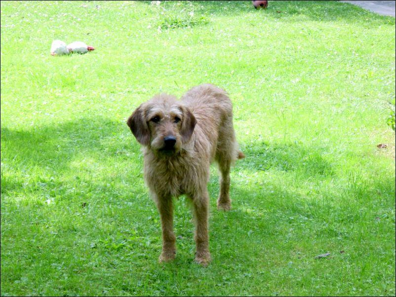 Styrian Coarse-haired Hound Dog: Styrian S Breed