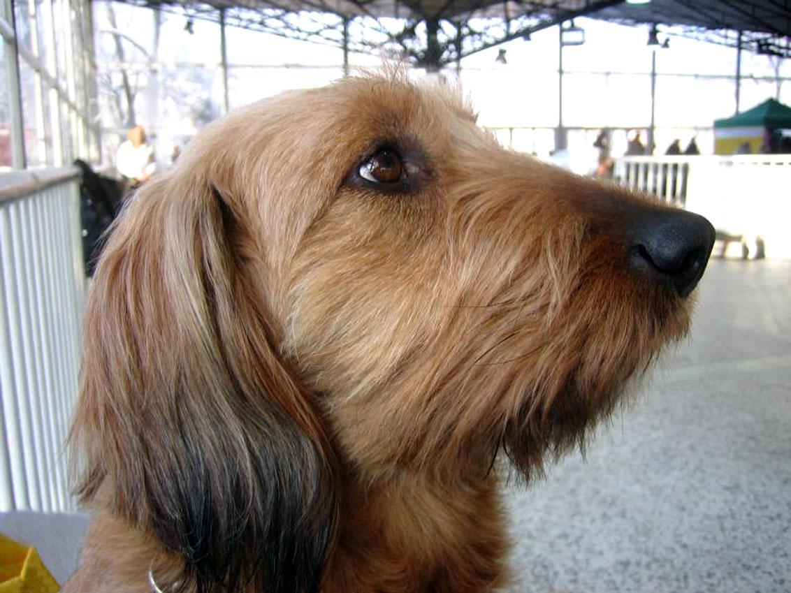 Styrian Coarse-haired Hound Dog: Styrian Styrian Coarse Haired Hound Face Breed