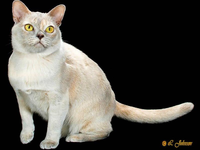 Suphalak Cat: Suphalak Breed