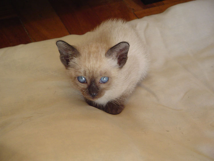 Suphalak Kitten: Suphalak Burmese Kitten Pictures Breed