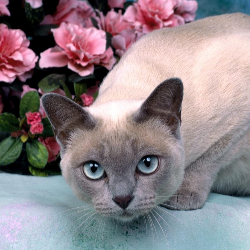Suphalak Cat: Suphalak Cat Breeds Part Ii