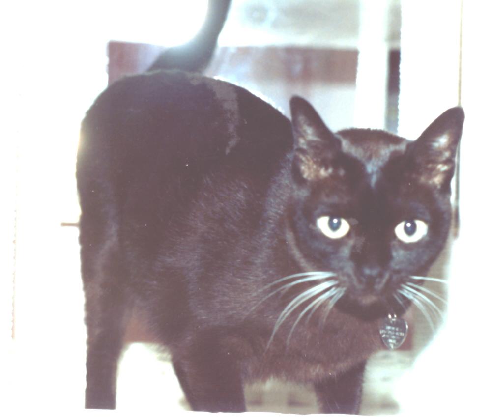 Suphalak Kitten: Suphalak Faqtburmese Breed